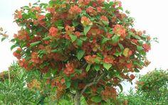 Flowering and Ornamental Tropical shrubs Orange Mandarin Hat