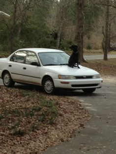 Jack and his 1995 Corolla purchased from Pitts Toyota Scion!  This dog knows where to shop!