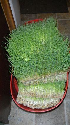 03-24-12 Barley Grass Results 002