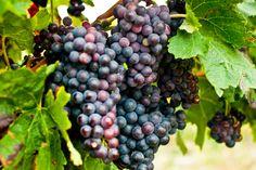 Vigne, Minervois