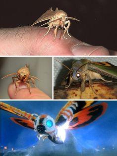 Vampire Moths