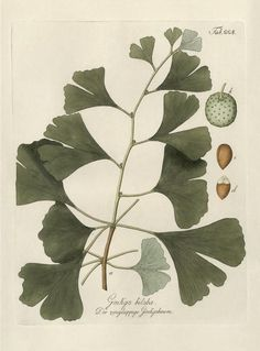 Botanical Illustration of Ginko Biloba (hand-colored copper engraving)., Stock Illustration Illustration of Ginko BilobaNational Botanical Garden National Botanic(al) Garden(s) may refer to: Vintage Botanical Prints, Botanical Drawings, Botanical Art, Vintage Botanical Illustration, Illustration Botanique, Plant Illustration, Old Illustrations, Nature Prints, Art Prints