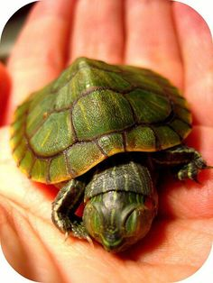Sleeping turtle