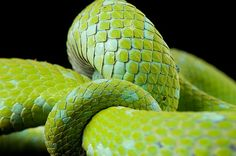 Joel Satore's portraits of endangered animals from the guardian   Biodiversity: A Rowleys palm pitviper at the St. Louis Zoo.