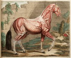 Hand-coloured illustration of horse musculature from the most celebrated work of animal anatomy, Cours d'Hippiatrique, by Philippe Étienne (1772).