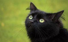 черный кот, оранжевые глаза, зеленая травка, животные, взгляд, кошки, black cat, orange eyes, green grass, animals, view, cats