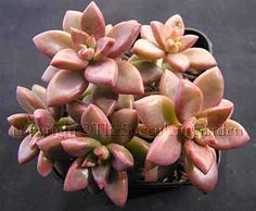 Graptoveria gilva This pretty species has golden pink leaves densely packed along short stems. Great for hanging baskets or spill-over garden plantings. Cream flowers. Sun/part sun.