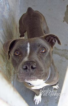 CA - Please Adopt or Foster for Safety ♥ Please Support Your Local Shelter Animals ♥ A4807365 I am a friendly 2 yr old female gray/white pit bull mix. I came to the shelter as a stray on March 11. available 3/15/15. Looks like she recently had pups. Her 'milk sacs' look like they've hardened and twisted. They don't look right. Photo below I share these photos to help get these dogs seen and hopefully find homes. I do not work for the shelter nor do I rescue or pull. If you are interested in…