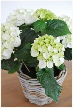 Favoriete plant, witte hortensia