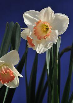 most unusual daffodil in my garden
