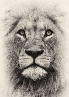 Spirit Lion by Rudi Hulshof on 500px