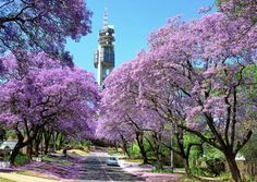 Pretoria, South Africa Do you remember the Jacarandas Kayla, Marcelle? Pretoria, Amazing Destinations, Holiday Destinations, South Africa Tours, Picture Tree, Africa Travel, Adventure Is Out There, Oh The Places You'll Go, Beautiful Places