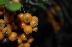 golden bush fruits(?)