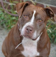 GONE 10-1-2015 --- Brooklyn Center COCO aka SINDNEY – A1052604  FEMALE, BROWN / WHITE, PIT BULL MIX, 7 yrs STRAY – ONHOLDHERE, HOLD FOR ID Reason STRAY Intake condition EXAM REQ Intake Date 09/24/2015 http://nycdogs.urgentpodr.org/sindney-a1052604/