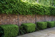 Pleaching some laurels or photonia might be really nice, because then we could grow shrubs underneath - preserves space perhaps? Or is it better to have some depth to add the illusion of space? Perhaps pleaching on the back fence? Privacy Trees, Privacy Plants, Garden Privacy, Planting For Privacy, Planting Plan, Back Gardens, Small Gardens, Evergreen Hedge, Evergreen Trees For Privacy