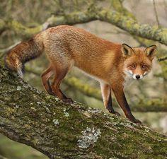 "beautiful-wildlife: ""Fox by © dehaasphotography """