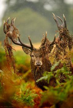 Elk by Félix Morlán González