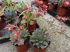 Echeveria flor Punita