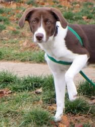 Rose is an adoptable German Shorthaired Pointer Dog in Angola, IN.  ...