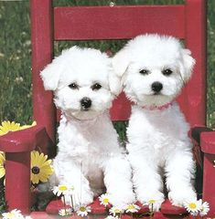Puppies in a red chair...