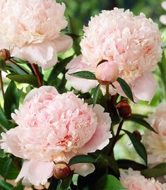 Dazzling double creamy white blooms with a hint of pale salmon pink in the depths of the flower, beautiful scented peony and long lasting blooms. Choose from our extensive selection of plants and seeds online. Cut Flowers, Pretty Flowers, My Flower, Flower Power, Paeonia Lactiflora, Peonies Garden, Garden Landscape Design, Pink Peonies, Dream Garden