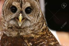 387926-Owl-face-Stock-Photo.jpg (1300×866)