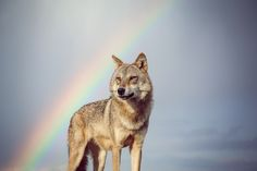 The Mongolian wolf is also known as the Tibetan wolf or as the subspecies of the Gray Wolf - Canis Lupus Chanco. It is a smaller wolf than i...