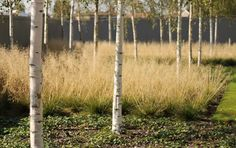 birch + ornamental grasses. simplicity done well by wilson mcwilliam — hyde park hayes piazza extension