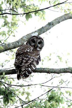 Owl   Taken by me in Missouri