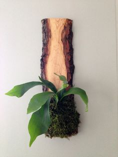 staghorn fern wall mount