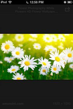 Daisy Flower HD Wallpaper For Desktop Daisy Wallpaper, Field Wallpaper, Wallpaper Pictures, Pictures To Paint, Cool Wallpaper, Cool Pictures, Latest Wallpaper, Nature Wallpaper, Free Pictures