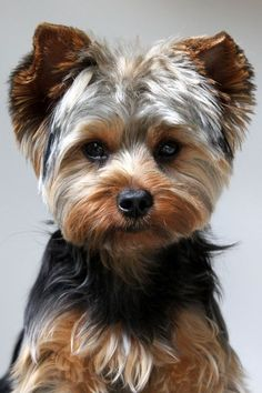 Yorkshire terrier owners often ask How often should you bathe a Yorkie. Read lots of tips about Yorkie bathing here. Beautiful Dogs, Animals Beautiful, Cute Animals, House Beautiful, Lap Dogs, Dogs And Puppies, Yorkie Cuts, Yorkie Teddy Bear Cut, Teddy Bears