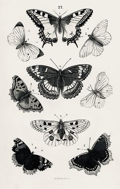 Butterflies Antique Framed Wall Art giclee reproduction print on fine paper that will not fade Available in different sizes unframed or framed in beautiful vintage wood burl frame that complements antique print Custom sizes available Made in USA # Butterfly Drawing, Butterfly Wall Art, Butterfly Illustration, Vintage Butterfly, Antique Frames, Antique Prints, Antique Art, Tattoo Drawings, Art Drawings