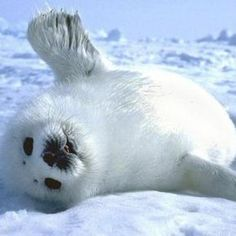 Love the baby harp seals. Please check out my website thanks. www.photopix.co.nz