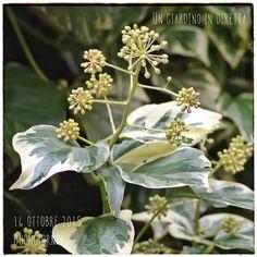 In diretta dal giardino: fiori di ottobre, edera (hedera colchica 'Dentata Variegata') Leggi di più nel blog!  #giardino #giardinoindiretta #ottobre #fiori
