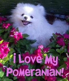 I <3 my Pomeranian