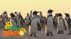 PENGUINS | Animal videos especially made for children. Made in the UK. Quality & educational videos. --------------------------------------------------------...