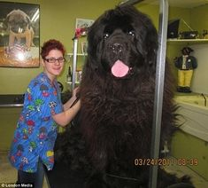 The biggest dogs I've ever seen.  Can you imagine the food bill and vet cost?  Yikes! I wouldn't wanna have to groom this one by myself!!