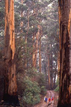 A majestic Karri forest near Manjimup South Western Australia. www.amazon.com/dp/B005IAJK2Q