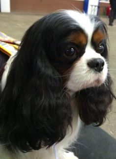 tri cavalier king charles spaniel - Google Search