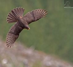 Kārearea 99 - Seen in this image is an adult female New Zealand falcon in flight, NZ… American Flag Drawing, Bird Pictures, Birds Of Prey, Falcons, Ink Art, Eagle, Creatures, Airports, Drawings