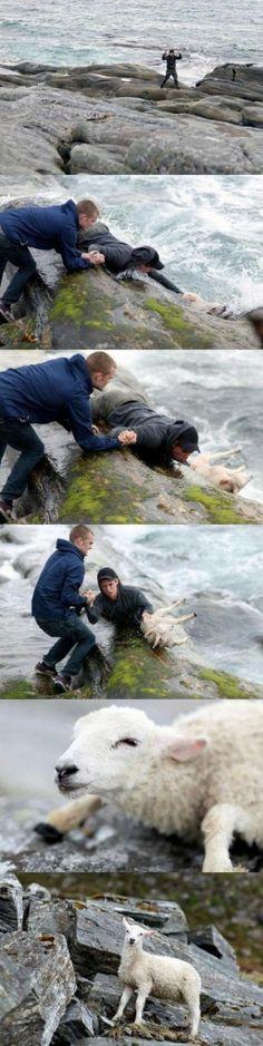 Dois noruegueses resgatando uma ovelha no oceano