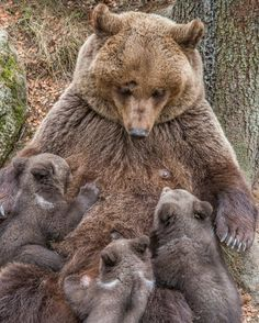 Mother Grizzly Bear with her three Baby Bears - Aww! More