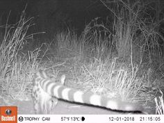 Another cool Trailcam Visitor