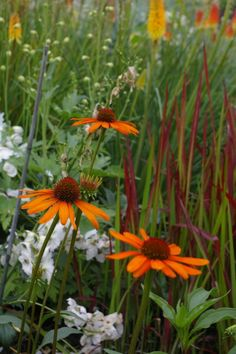 Echinacea, Japanese blood grass, Natural & Elegant Companions - Summer Gardening Inspiration / Pike Nurseries