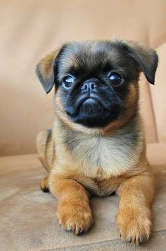Said pug but it looks more like a petite brabancon to my untrained eyes