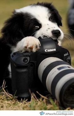 Border Collie and a Camera  :) No, No, No....puppies are not allowed to do this!  You are not being a responsible puppy!