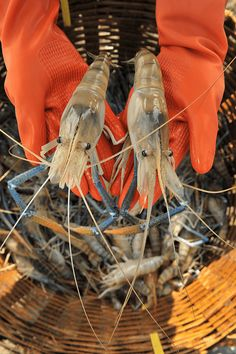 Israel's Enzootic makes prawn farmers an appetizing offer: a treatment method to control and rear the crustaceans by gender.
