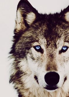 Amazing eyes. I think this wolf is channeling Jon Bon Jovi.