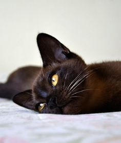 8. Burmese  A friendly, lovey playmate who wants cuddles and attention :)